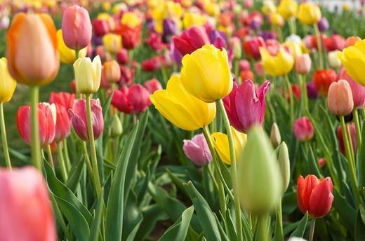 Stock Photo: 1848-230105 Tulip field Tulipa