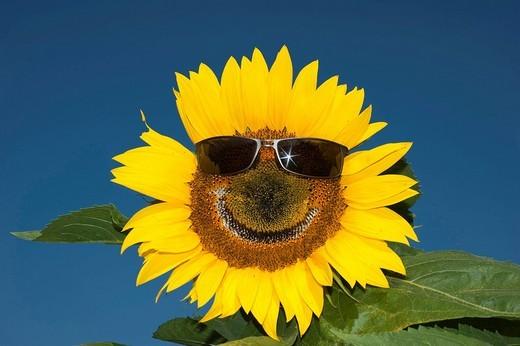 Stock Photo: 1848-230476 Sunflower Helianthus anuus wearing sunglasses, laughing