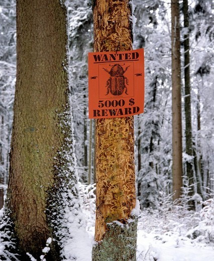 Stock Photo: 1848-230905 Bark beetle infestation, damaged tree in winter, wanted_sign