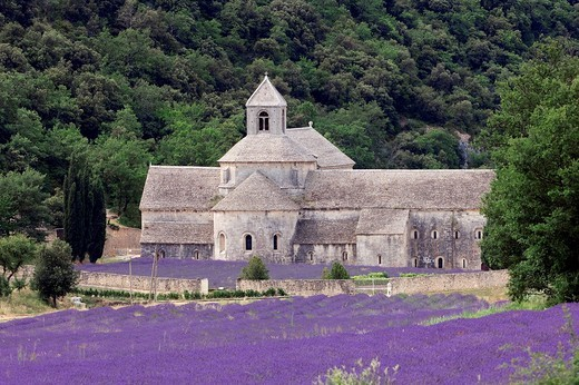 Blooming Lavender Lavendula angustifolia field in front of Senanque Abbey, Gordes, Provence, Southern France, France, Europe : Stock Photo