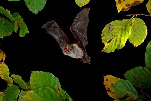 Stock Photo: 1848-231705 Natterer´s Bat Myotis nattereri in flight