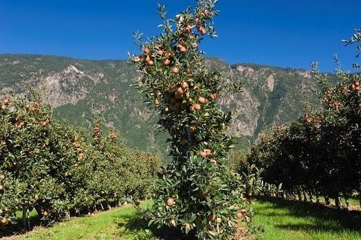 Stock Photo: 1848-232445 Apple orchard, Vilpiano, Trentino, South Tyrol, Italy, Europe