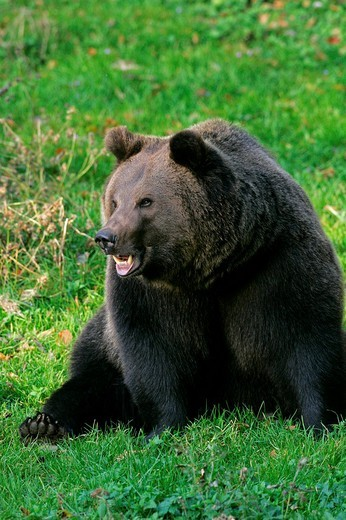 Brown bear shows the teeth Ursus arctos : Stock Photo