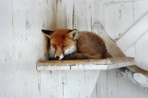 Red fox vulpes vulpes laying on a wooden board : Stock Photo