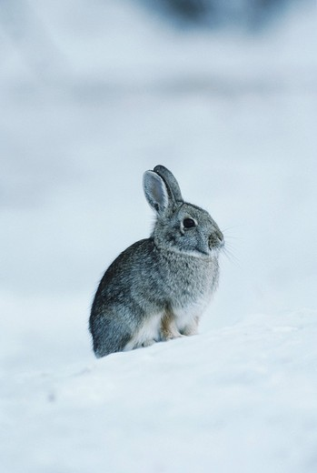 Mountain Cottontail Sylvilagus nuttalii, adult in snow, Rocky Mountain National Park, Colorado, USA : Stock Photo