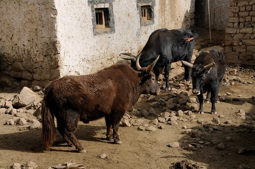 Dzo, hybrids of yak and cattle, in front of a traditional farmhouse, Leh, Ladakh, India, Himalayas, Asia : Stock Photo