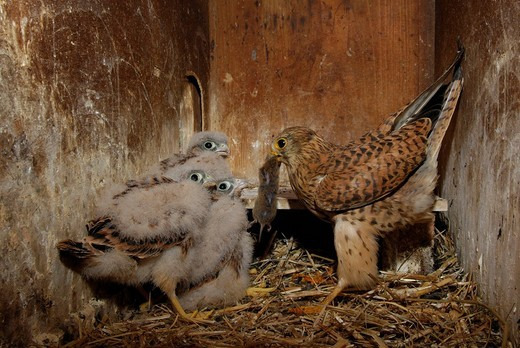 Stock Photo: 1848-236768 Common kestrel Falco tinnunculus feeding chicks with a mouse