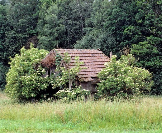 Barn between elder bushes : Stock Photo