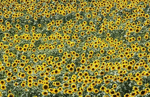 DEU, Germany : Field of sunflowers : Stock Photo