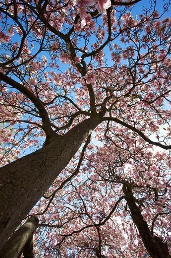 Magnolia Magnolia in bloom : Stock Photo