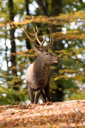 Stock Photo: 1848-237682 Red Deer Cervus elaphus, Volcanic Eifel, Rhineland_Palatinate, Germany, Europe