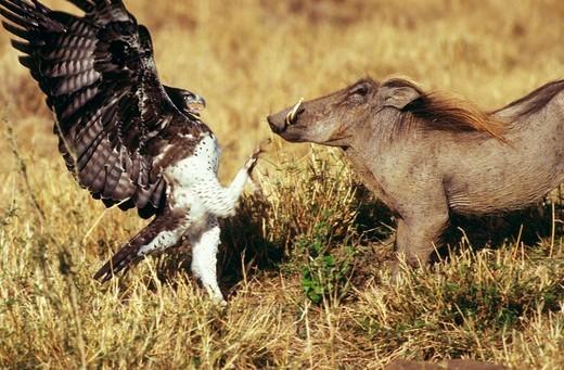Stock Photo: 1848-238712 Martin Eagle, Polemateus bellicosus, warthog, Masai Mara, Kenya, Africa