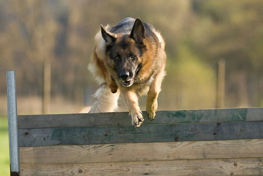 German shepherd in training, jumping : Stock Photo