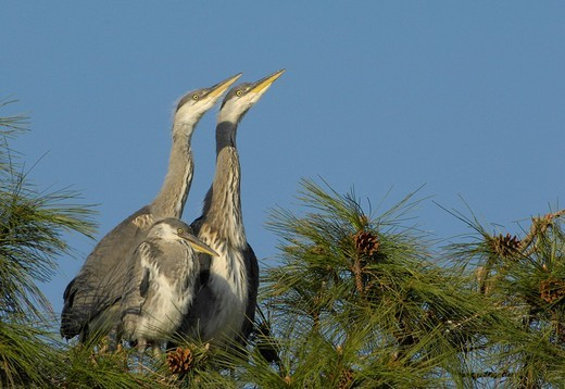 Young Grey Herons ardea cinerea : Stock Photo