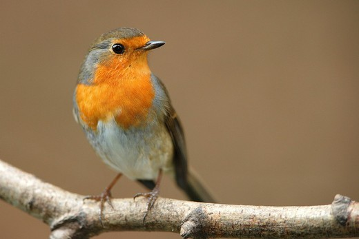 Robin, Erithacus rubecula : Stock Photo