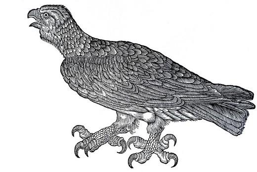 Woodcut, eagle Aquila anataria, from: Conrad Gesner, Historia Animalum, 1551, Germany, Europe : Stock Photo