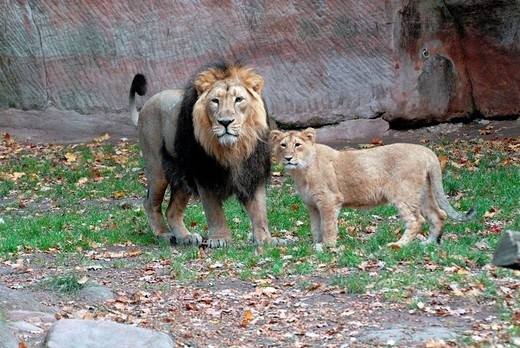 Lions Panthera leo at a zoo in Germany, Europe : Stock Photo