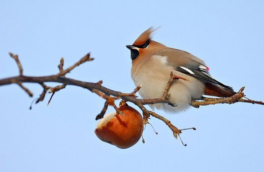 Stock Photo: 1848-240824 Bohemian Waxwing on a branch