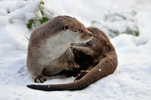 European Otter Lutra lutra in its natural habitat : Stock Photo