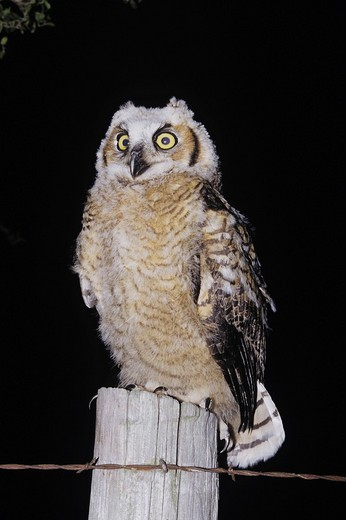 Stock Photo: 1848-241774 Great Horned Owl Bubo virginianus, fledgling at night on fence post, Starr County, Rio Grande Valley, Texas, USA