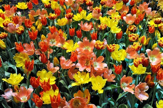 Stock Photo: 1848-241811 Various tulips