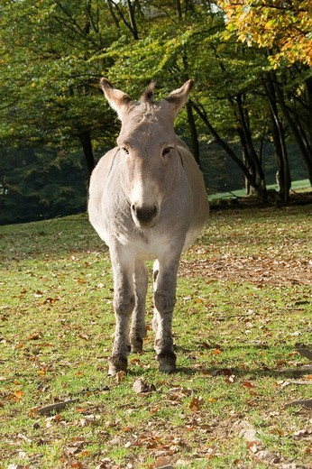 Thuringian Donkey standing by the forest´s edge in a meadow, Zoo, Daun, Vulkaneifel, Germany, Europe : Stock Photo