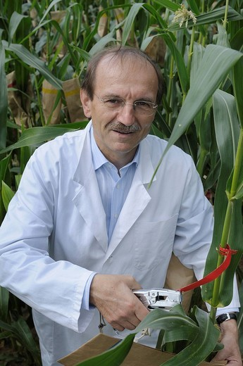 Prof. Dr. Melchinger, hybrid research on the experimental corn field at the University of Hohenheim, Baden_Wuerttemberg, Germany, Europe : Stock Photo