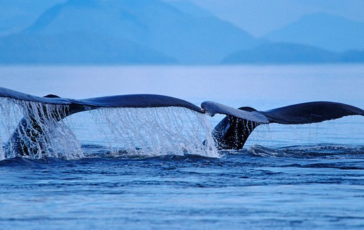 Stock Photo: 1848-244857 Two Humpback Whales Megaptera novaeangliae, diving side by side and showing their flukes, Alaska, America