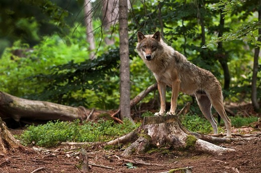 European Wolf Canis lupus lupus, outdoor enclosure, Bavarian Forest, Bavaria, Germany, Europe : Stock Photo