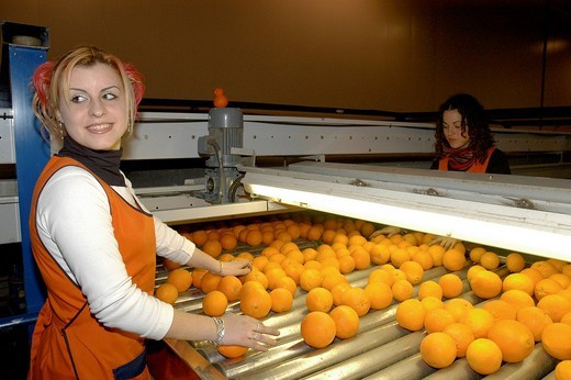 Stock Photo: 1848-2456 Orange packer conducting quality control at Guillem Exports´ orange packing factory in Valencia, Spain, Europe
