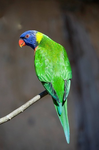 Lorikeet Loriinae, Tierpark Marlow, Mecklenburg_Western Pomerania, Germany, Europe : Stock Photo
