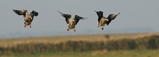 Greater white_fronted geese Anser albifrons : Stock Photo
