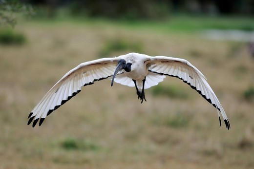 Sacred Ibis Threskiornis aethiopicus in flight, Sweetwater Game Reserve, Kenya, Africa : Stock Photo
