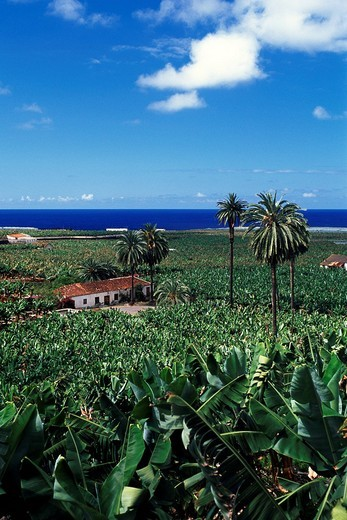 Banana plantation near Icod de los Vinos, Tenerife, Canary Islands, Spain, Europe : Stock Photo