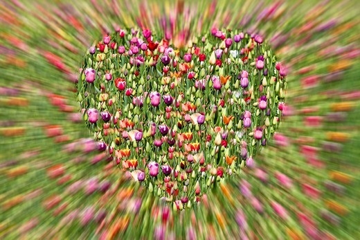 A heart made of tulips : Stock Photo