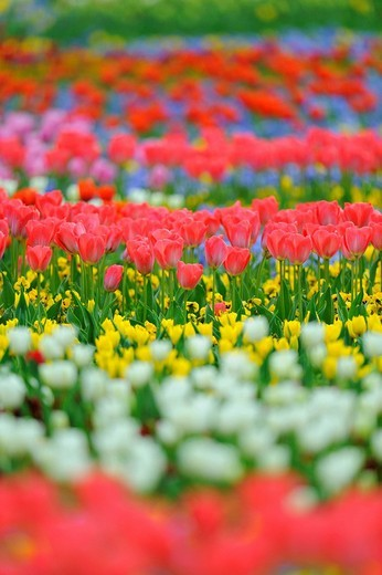 Tulips Tulipa : Stock Photo