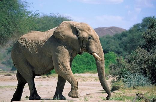 Stock Photo: 1848-248012 African Bush Elephant Loxodonta africana, Namibia, Africa