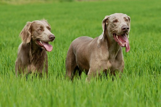 Two Weimaraners, standing in grass : Stock Photo