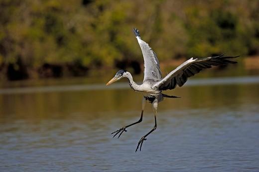 Hunting Cocoi heron, Ardea cocoi, Pantanal , Brasilien : Stock Photo