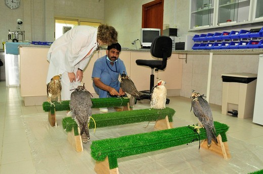 Dr. Margit Gabriele Mueller, head of the Abu Dhabi Falcon Hospital and a keeper in the waiting room of the hospital, Abu Dhabi, United Arab Emirates, Arabia, Middle East, Orient : Stock Photo