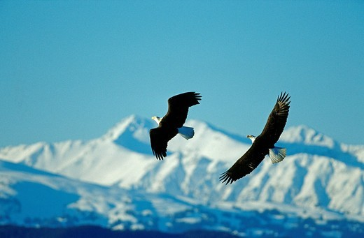 Bald Eagle Haliaeetus leucocephalus flying in front of snow covered mountains Alaska : Stock Photo