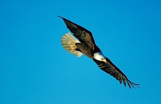 Bald Eagle Haliaeetus leucocephalus flying Alaska : Stock Photo