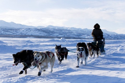 Dog sled team with musher, Lake Laberge, Yukon Territory, Canada : Stock Photo
