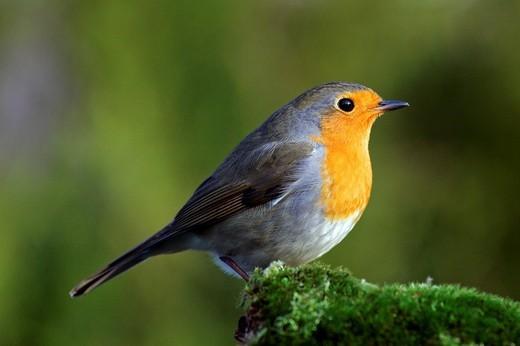 Stock Photo: 1848-250994 Robin _ european robin _ redbreast_ Erithacus rubecula
