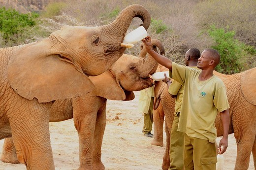 Keepers feeding young African Bush Elephants Loxodonta africana with milk, rearing station of the David Sheldrick Wildlife Trust, Tsavo East National Park, Kenya, Africa : Stock Photo
