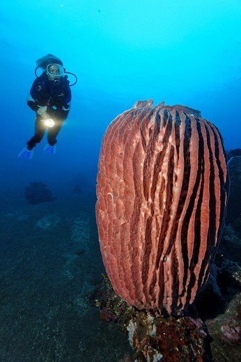 Stock Photo: 1848-252222 Underwater scenery, Giant Vase Sponge, Xestospongia testudinaria , diver, coral reef, Bali, island, Lesser Sunda Islands, Bali Sea, Indonesia, Indian Ocean, Asia