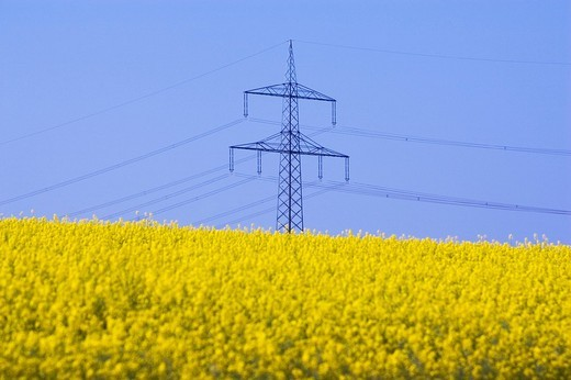 Canola Field an electricity pylon , : Stock Photo