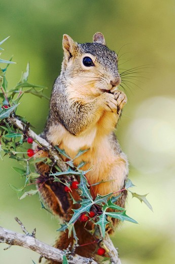 Eastern Fox Squirrel Sciurus niger, adult eating Agarita Berberis trifoliolata berries, Uvalde County, Hill Country, Central Texas, USA : Stock Photo