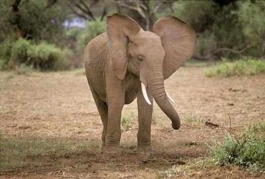 Stock Photo: 1848-255453 Young elephant with waving ears, Amboseli National Park, Kenya