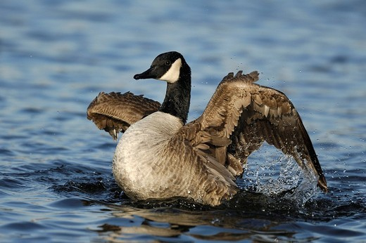 Stock Photo: 1848-256422 Canada goose Branta canadensis to clap the wings